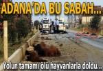 Adana'da otomobil sürüye daldı! Hayvanlar telef oldu...