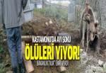 Kastamonu'da ceset yiyen ayı şoku: Artık vurulacak