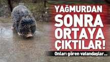 Şanlıurfa'da yağmur yağınca ortaya çıkan köstebeği vatandaşlar kurtardı.
