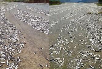 Tokat'ta baraj taştı balıklar telef oldu